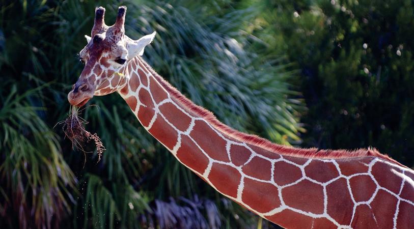 Mileon Giraffe_